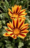 Double Gazania by trixxie17, photography->flowers gallery