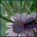 Daisies by ccmerino, Photography->Manipulation gallery