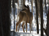 Deer in Bracebridge by theradman, Photography->Animals gallery