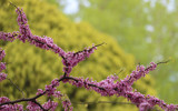Redbud blooms by BarnArt, photography->flowers gallery