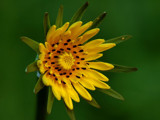 Goat's-beard by gerryp, Photography->Flowers gallery