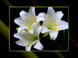 Lily Glow by LynEve, Photography->Flowers gallery