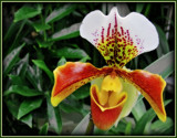 Slipper Orchid by trixxie17, photography->flowers gallery