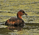 Little Grebe.... by biffobear, photography->birds gallery