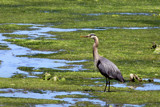 heron at low tide 2 by jeenie11, Photography->Birds gallery