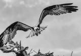 Osprey by luckyshot, photography->birds gallery