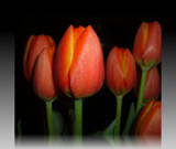 Tulips 2 by ccmerino, Photography->Flowers gallery