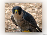 Talons I by Hottrockin, Photography->Birds gallery