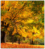 Autumn Gold by ccmerino, Photography->Landscape gallery