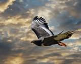 Jackal Buzzard 2 by biffobear, photography->manipulation gallery