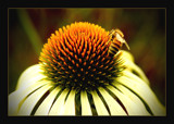 another bee by JQ, Photography->Flowers gallery