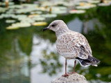 Young Seagull by gerryp, Photography->Birds gallery