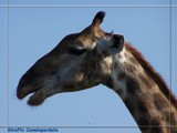 Giraffa Camelopardalis - #2 Kruger National Park by mmynx34, Photography->Animals gallery