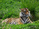 Tiger! Tiger! burning bright by jcferg99, Photography->Animals gallery