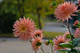 Dahlias on Friday by Ramad, photography->flowers gallery