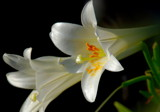Easter lilies by solita17, Photography->Flowers gallery