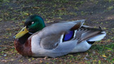 Let Sleeping Ducks Lie #3 by braces, photography->birds gallery