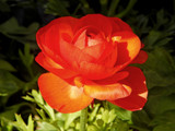 Ranuncula by trixxie17, photography->flowers gallery