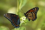 Two straws please... by egggray, photography->butterflies gallery