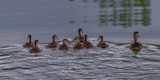 Family Swim by Pistos, photography->birds gallery