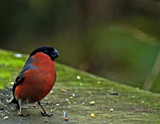 Eurasian Bullfinch by biffobear, photography->birds gallery