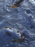 Carp by ccmerino, Photography->Animals gallery