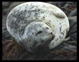 Harbor Seal by garrettparkinson, Photography->Animals gallery