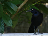 Grackle or a Crow? :) by Anita54, Photography->Birds gallery