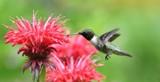 Calendar Garden Hummer by tigger3, photography->action or motion gallery