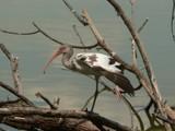 Ballet Bird by swampdrummer, Photography->Birds gallery