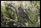 California Towhee by garrettparkinson, photography->birds gallery