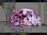 Purples [Lilacs] by StarLite, photography->flowers gallery