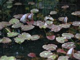 Lily pond by RobNevin, Photography->Nature gallery