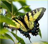 The Tiger Swallowtail by tigger3, photography->butterflies gallery