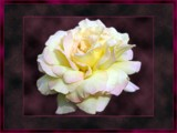Mother is Blushing-collaboration by bayoubooger, photography->flowers gallery
