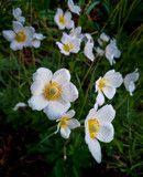 Snowdrop Anemone by Pistos, photography->flowers gallery