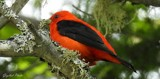Scarlet Tanager by GIGIBL