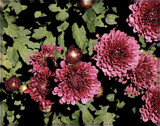 Mauve Mums by trixxie17, photography->flowers gallery