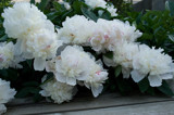 Peonies on Deck by wheedance, Photography->Flowers gallery