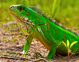 Iguana by jeenie11, photography->reptiles/amphibians gallery