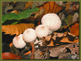 Forest jewels by Dehli, Photography->Mushrooms gallery