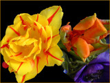Colourful by Ramad, photography->flowers gallery