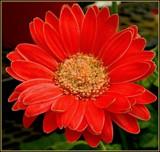 Gerbera by trixxie17, photography->flowers gallery
