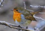 Robin by Novice, Photography->Birds gallery