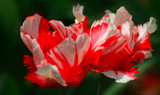 Ruffled Feathers - Tulips by nmsmith, Photography->Flowers gallery
