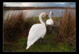 Swan Return by slybri, Photography->Birds gallery