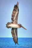 Pelican in Flight by Mvillian, photography->birds gallery