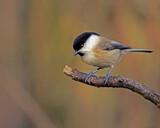 Willow Tit by biffobear, photography->birds gallery
