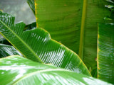 Banana Leaf by shamasis, Photography->Nature gallery