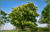 Flowering Chestnut Tree by corngrowth, Photography->Nature gallery